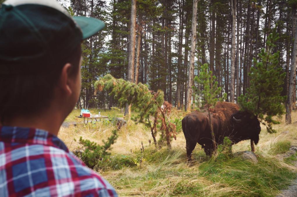 bizon-Yellowstone-narodny-park-obed