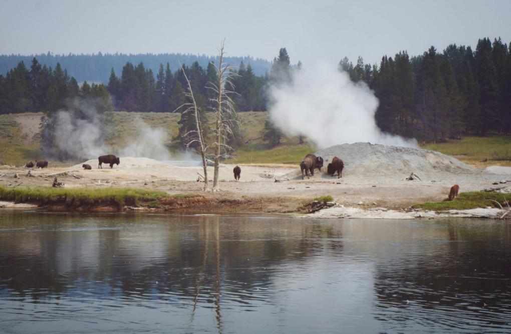 bizoni-Yellowstone-minulost